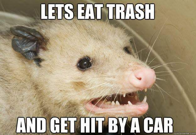 Opossum - Let's eat trash and get hit by a car